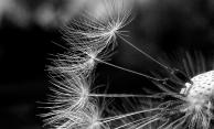 Dandelion20170520_132654_monochrome
